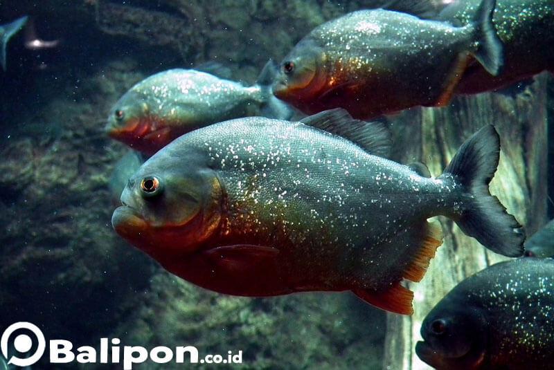 Ikan Piranha di Bali Safari